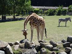 Giraffe and zebra (Nemoleon) Tags: aalborgzoo june 2018 dsc01126 grevyszebra equusgrevyi rothschildsgiraffe giraffacamelopardalisrothschildi