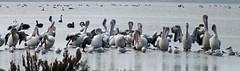 Public Bathing (AdamsWife) Tags: westernaustralia birds birdlife birdwatcher birdwatching pelican australianpelican pelecanusconspicillatus gulls terns swans