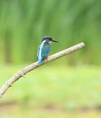 1S9A7131 (saundersfay) Tags: kingfisher bird turquoise feathers orange branch