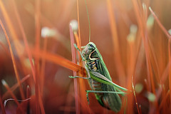 Abstract vision (victoriameyo) Tags: closeup abstract insect red grass grasshopper locust fauna field meadow 7dwf
