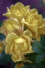 Image (1 of 1)-227 (picsbyCaroline) Tags: rose yellow purple haze colour pretty flower wild nature gree leave bouquet