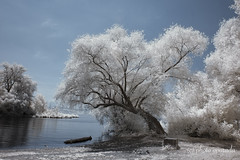 Branches - The Lifelines of a Tree (gporada) Tags: 720nm lakeconstance bodensee landscape infrared nikon d40 langenargen germany lifelines branches tree water lake surreal dreamland badenwürttemberg travelling