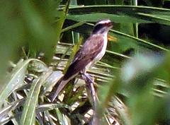 Unidentified Flycatcher (asterisktom) Tags: trippanamacostarica2018 2018 panama panamacity august caminodecruces bird vogel ave 鸟 птица 鳥 pajaro unidentified flycatcher