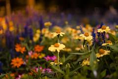 #Flores de #colores en el #Retiro de #Madrid  #sonyA7 #50mm #flowers #colors #bokeh #f1.8 (fotografialuis) Tags: sonya7 flowers 50mm madrid retiro bokeh colores f1 flores colors