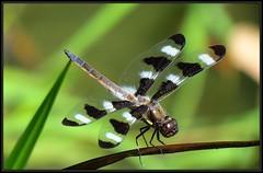 IMG_0925 En Garde 7-30-18 (arkansas traveler) Tags: dragonfly twelvespotskimmer bokeh bokehlicious nature naturewatcher natureartphotography bichos bugs insects telephoto zoom