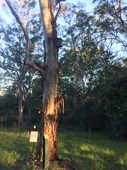 IMG_4867 (dudegeoff) Tags: 20180623bsydednahuntsanctuary ednahuntsanctuary eastwood nsw newsouthwales australia 2018 june winter bikerides trees 20180623csydednahuntsanctuary