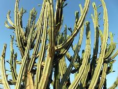 ALAIOR. MENORCA. 08-18. 1 (joseluisgildela) Tags: alaior menorca campo cactus