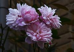 DSC_0949 (PeaTJay) Tags: nikond750 london chiswick macro micro closeups gardens outdoors nature flora fauna plants flowers