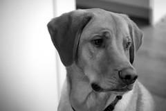 Luke 1 (TheseusPhoto) Tags: dog blackandwhite monochrome noir bnw pet animal cute sweet eyes face ears canine