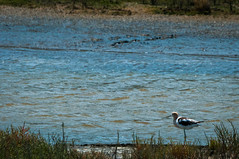 American Avocet (phoca2004) Tags: americanavocet birding birds d90 hamiltonfieldwetlands marincounty nikon recurvirostraamericana sanfranciscobaytrail restoredwetlands novato california unitedstates us