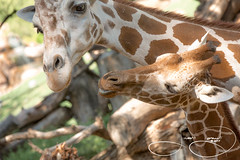 Captain and Walter (shutterbugdancer) Tags: reticulatedgiraffe africansavanna fortworthzoo giraffe