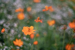 _DSC9265 (kymarto) Tags: bokeh bokehlicious bokehphotography dof depthoffield flowers flowerphotography nature naturephotography beauty beautiful sony sonyphotography sonya7r2 oldlens vintagelens