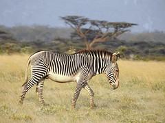 7642ex Grevy's Zebra (jjjj56cp) Tags: zebra grevyszebra imperialzebra buffalospringsnationalreserve riftvalley kenya africa inthewild black white stripes whitebelly grasslands plains africangrasslands africanplains safari africansafari grazing p900 jennypansing wildequine equine mammal contrast endangered ngc