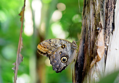 Butterfly-Papallones (toni baeza oto) Tags: papallona butterfly