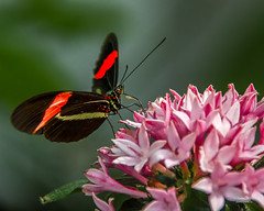 The red postman butterfly on flowers at Biosphäre Potsdam (Daniel Poon 2012) Tags: potsdam brandenburg germany de musictomyeyes artistoftheyear amazingphoto 123 blinkagain blinkstomyeyes flickr nikonflickraward simplysuperb simplicity storytelling nationalgeographic ngc opticalexcellence beauty beautifullight beautifulcapture level2autofocus landscape waterscape bydanielpoon danielpoonca worldtravel superphotosgroup theamusingphotogroup powerofnikon aplaceforgreatphotographers natureimage focusandclick travelaroundthe world worldmasterpiece waterwatereverywhere worldphotography yourbestphotography mybestphotography worldwidewandering travellersworld orientalland nikond500photography photooftheyear nikonshooters landscapeoftheworld waterscapeoftheworld cityscapeoftheworld groupforallusersofnikon chinesephotographers