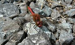 Ruddy Darter IV (Dr Nigel) Tags: northeast england panasonic lumix dmcfz8 wildlife nature insect countydurham croxdalehall dragonfly ruddydarter sympetrumsanguineum odonata