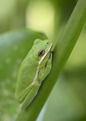 Green treefrog (MyFWCmedia) Tags: amphibians florida floridafishandwildlifeconservationcommission frog fwc greentreefrog nature outdoors publiclands tallahassee tombrownpark treefrog wildlife fl usa