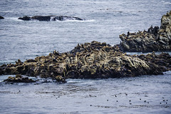 Isle of Lions (Gordon-Shukwit) Tags: california carmel pacificocean pointlobos sealions summer