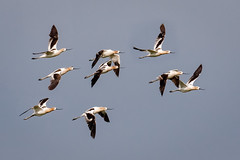 Flight of Avocets (tresed47) Tags: 2018 201807jul 20180727bombayhookbirds avocet birds bombayhook canon7dmkii content delaware folder july peterscamera petersphotos places season shorebirds summer takenby us ngc