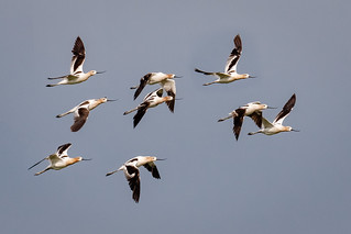 Flight of Avocets