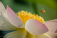Changing Approach Vector (dngovoni) Tags: dc flower lotus action background bee bug flight honeybee insect kenilworthaquaticgardens macro summer sunrise wildlife washington districtofcolumbia unitedstates us