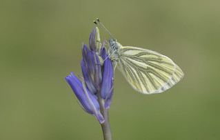 Green-veined White (Pieris napi).