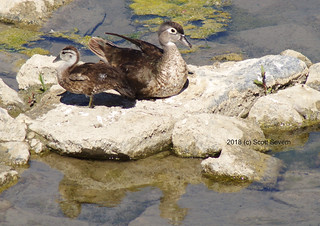 Wood Duck (f) and Duckling