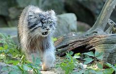 Manul Blijdorp JN6A6973 (j.a.kok) Tags: manul felismanul feline pallascat pallaskat cat kat animal asia azie china mammal zoogdier dier predator blijdorp