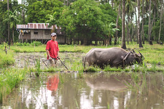 Farmer in the rain (vincent.lecolley) Tags: rice ricefield hardlife life work hardwork asia philippines buffalo world travel discovery jungle negrosoriental tambobobay rain