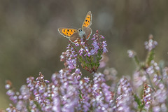 Butterfly Bokeh (Tim Melling) Tags: lycaena phlaeas small copper butterfly peak district moors heather calluna vulgaris south yorkshire timmelling