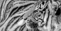 Graphic Tiger (Robert Streithorst) Tags: cincinnatizoo female mono robertstreithorst tiger zoosofnorthamerica bigcat