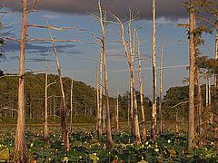 P8040034-Life and Death at Black Bayou (C'Ann Underwood) Tags: blackbayou bayou baldcypress cypressswamp swamp nature louisiana