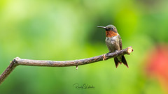 Ruby-throated hummingbird - Archilochus colubris | 2018 - 10 (RGL_Photography) Tags: allairestatepark allairevillage archilochuscolubris birding birds birdwatching gardenstate hummingbird jerseyshore monmouthcounty mothernature nature newjersey nikonafs600mmf4gedvr nikond500 ornithology rthb rubythroatedhummingbird us unitedstates wildlife wildlifephotography ©2018rglphotography