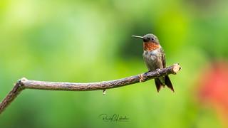 Ruby-throated hummingbird - Archilochus colubris   2018 - 10