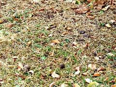Misleading Weather (Donna JW) Tags: picmonkey silverbirch betulapendula tree leaves grass earlyfall