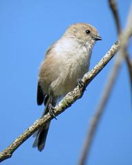 Bushtit! (Reva G) Tags: bird bushtit nature wildlife americanbushtit northvancouver