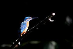 martin pêcheur d'Europe ( Alcedo atthis ) Brech 180806a2 (papé alain) Tags: oiseaux passereaux alcédinidés martinpêcheurdeurope alcedoatthis commonkingfisher brech bretagne morbihan france
