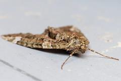 Nice Carpet, pt. 2 - _TNY_4711 (Calle Söderberg) Tags: macro canon canon5dmkii canonef100mmf28usmmacro canoneos5dmarkii 5d2 flash meike mk300 glassdiffusor raynox dcr250 insect moth butterfly mätare geometridae camouflage brown chloraclysta siterata leipidoptera pattern carpet redgreencarpet fältmätare geometroidea brungrönfältmätare whitebackground f22