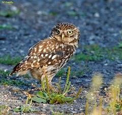 Little Owl alert (Ted Humphreys Nature) Tags: littleowl owls raptors birdsofprey tedhumphreysnature