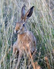 Beautiful young brown hare (leveret) very very close, fine hot summer evening at Elmley NNR (Jim_Higham) Tags: nature natural wild wildlife kent england british englush eu europe european sheppey nationalnaturereserve lagomorph