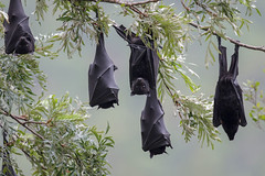 Flying Fox (Alan Gutsell) Tags: wildlife nature alan australia photo queensland flying fox flyingfox bat nocturnal mammal australian brisbane night blood