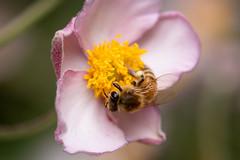 Honey bee | Postman's Park | London meandering-34 (Paul Dykes) Tags: london england uk gb unitedkingdom august2018 postmanspark park cityoflondon bee insect insecta honeybee apismellifera urbannature urbanwildlife