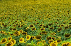 Sunflower Field (a sea of sunflowers) (PinoyFri) Tags: sonnenblumen sunflowers girassóis napraforgók zonnebloemen 向日葵 חמניות tournesols girasoli ヒマワリ подсолнух korbblütler helianthus flowerwave flowermeadow