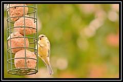 """Beak Smackin'...!"" (NikonShutterBug1) Tags: nikond7100 tamron18400mm birds ornithology wildlife nature spe smartphotoeditor birdfeedingstation bokeh birdsfeeding tit"