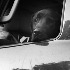 Chien en voiture (syldeles) Tags: chien dog labrador regard animal canidé voyage camping