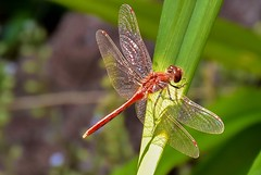 Red Dragonfly (Jane Olsen) Tags: dragonfly insect red leaf outdoor macro summer