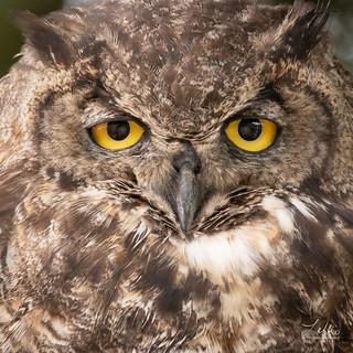 Owl Eye Detail