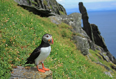 Puffin on Skellig Michael, Ireland (global.local) Tags: puffin ireland skellig cuteanimal