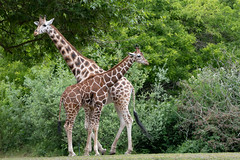 Giraffe (jeff's pixels) Tags: giraffe animal mammal zoo woodlandparkzoo nikon d850 nature wildlife