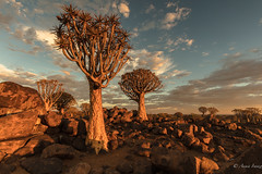 Bathed in sunlight (Ana Isabel Iranzo) Tags: sky sunlight trees quiver tree forest namibia landscape canon anais iranzo
